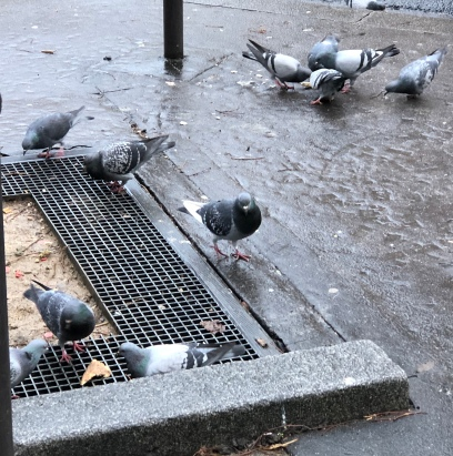 Pigeon&friends