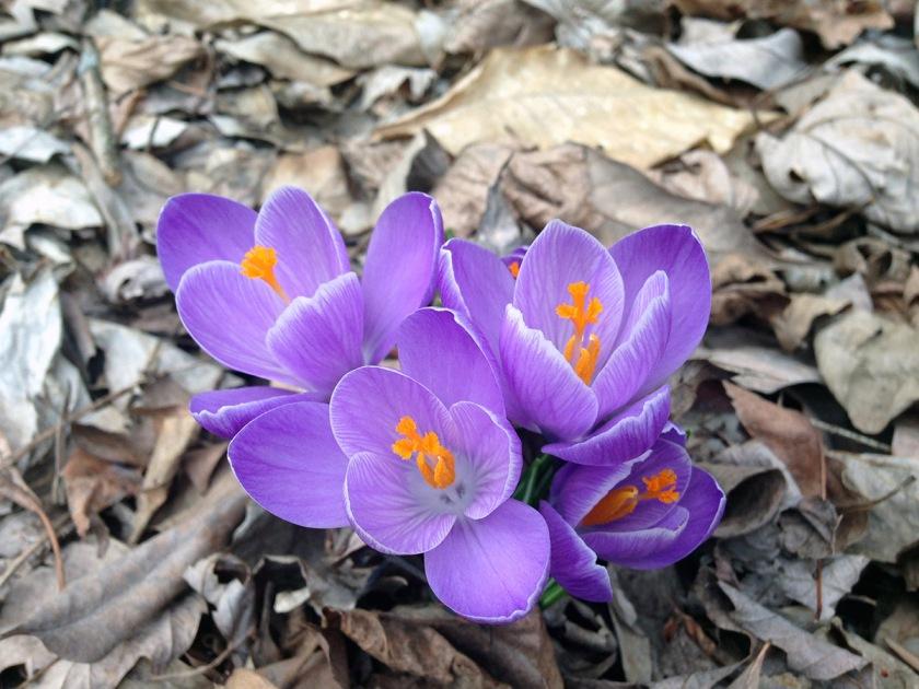 Crocus_Spring2014_small