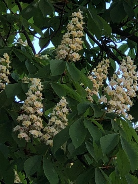 ChestnutBlooms